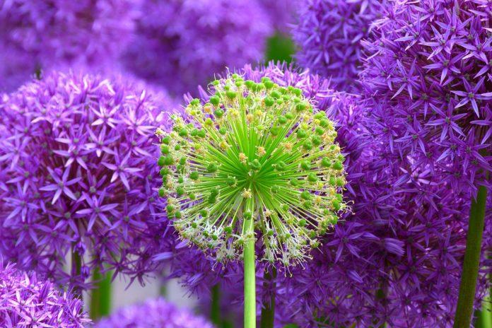 Kwiaty wieloletnie zimujące w gruncie