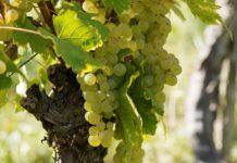 Pestki z winogron. Właściwości prozdrowotne